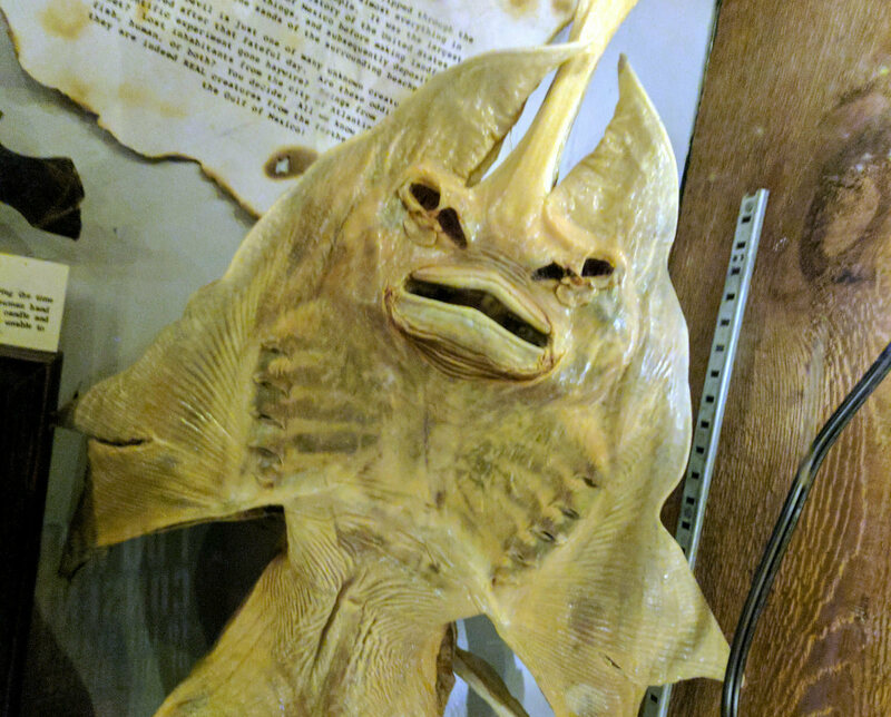 A Jenny Haniver, or devil fish, on display at the Museum of the Weird in Texas.