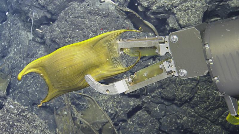 "Skate eggs, like this deep sea example, are known as ""mermaid purses."""