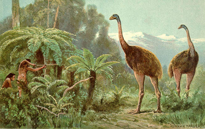 An image of the moa, by Heinrich Harder, shows them erroneously being hunted with bows and arrows.
