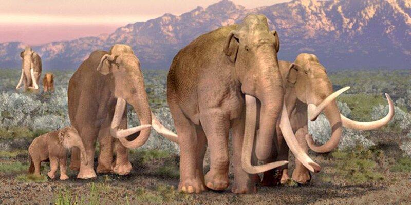 An artist's rendering of the Columbian mammoths.