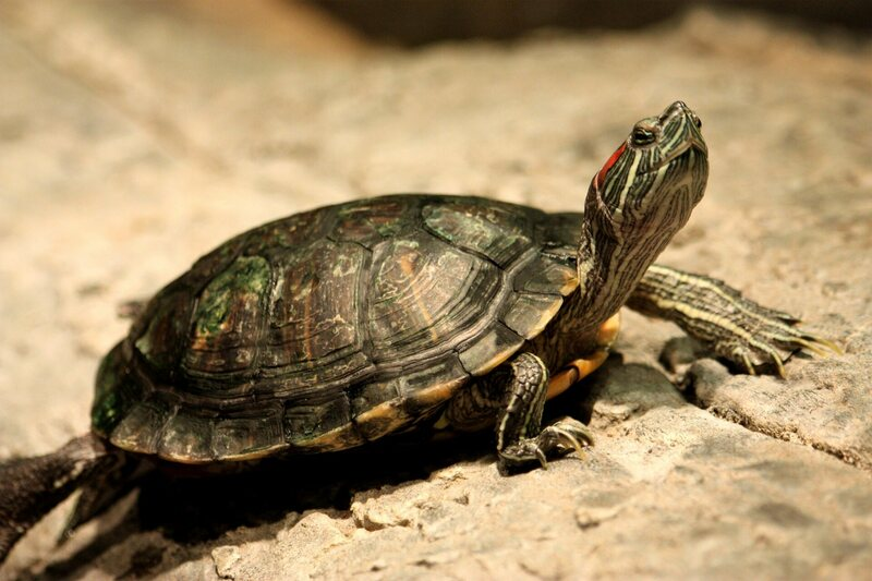 Found A 5 5 Million Year Old Ancestor Of The Red Eared Slider