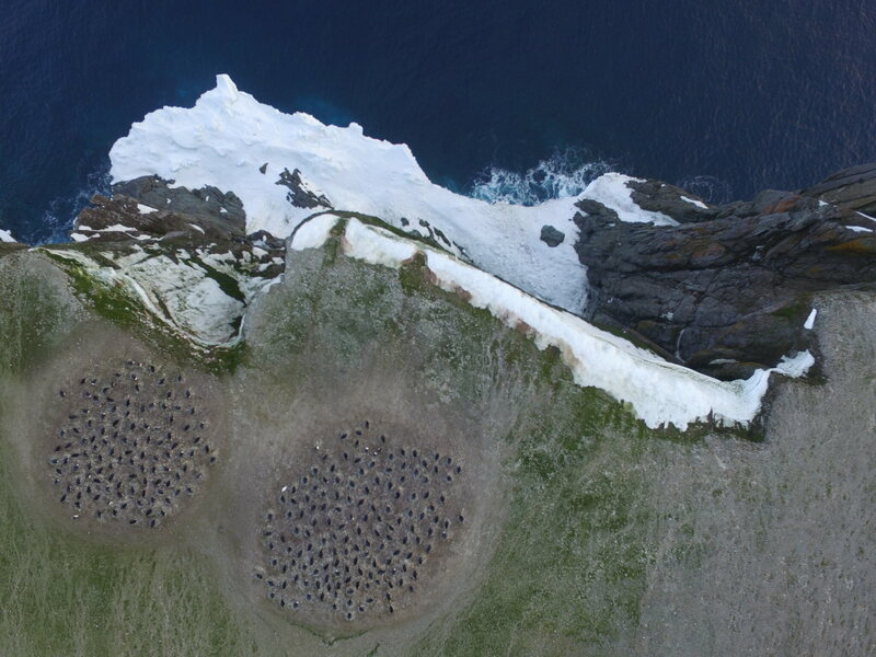 A drone image of penguins in the Danger Islands