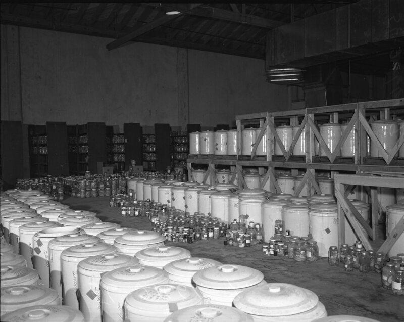 Pathological specimens stored in 20-gallon crock jars.