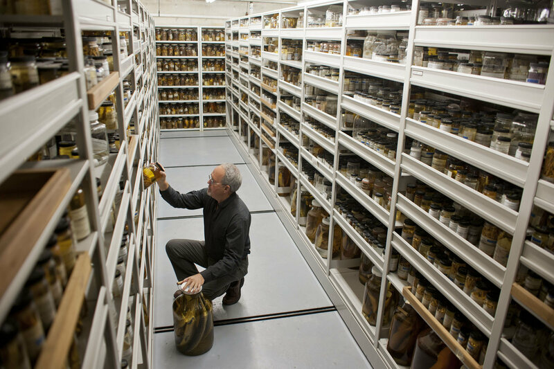 Florida Museum of Natural History Ichthyology Curator Larry Page works in the collections in Dickinson Hall on the University of Florida campus in Gainesville.