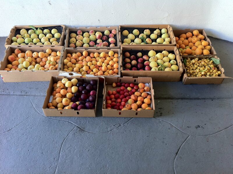 A week's worth of summer fruit from the Arboreum Company orchard.