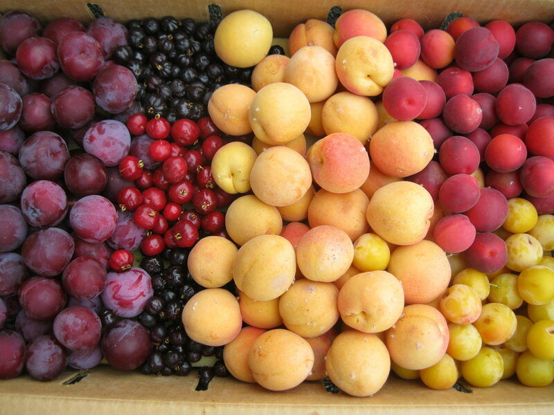 """White apricots, """"Mesch Mesch Amra"""" plumcots, pitangas, """"Beauty"""" plums, and """"Shakar Pareh"""" plumcots from Kennedy's collection."""