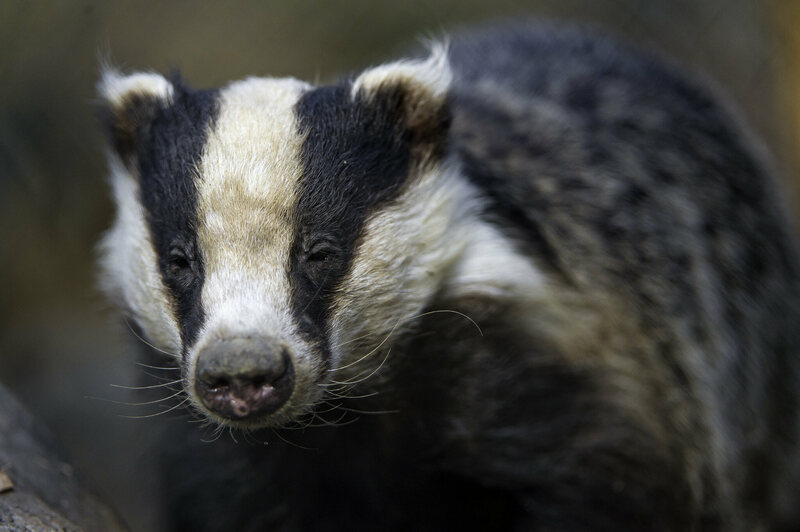 Badgers live in the woodland around the castle.