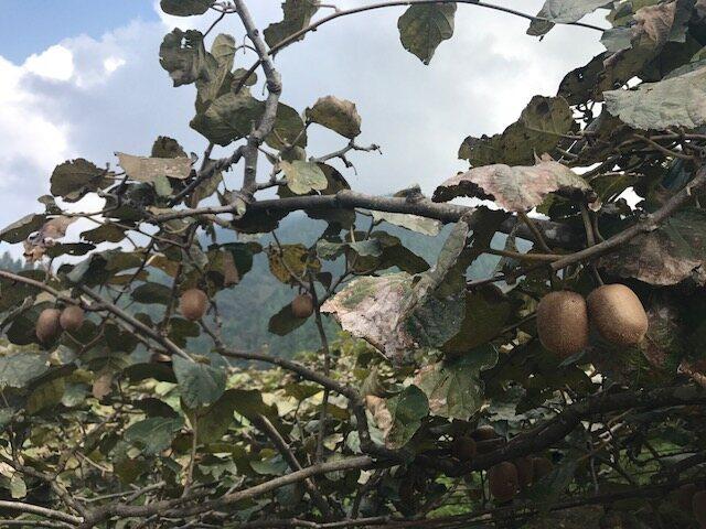 A close-up of the kiwi crop.