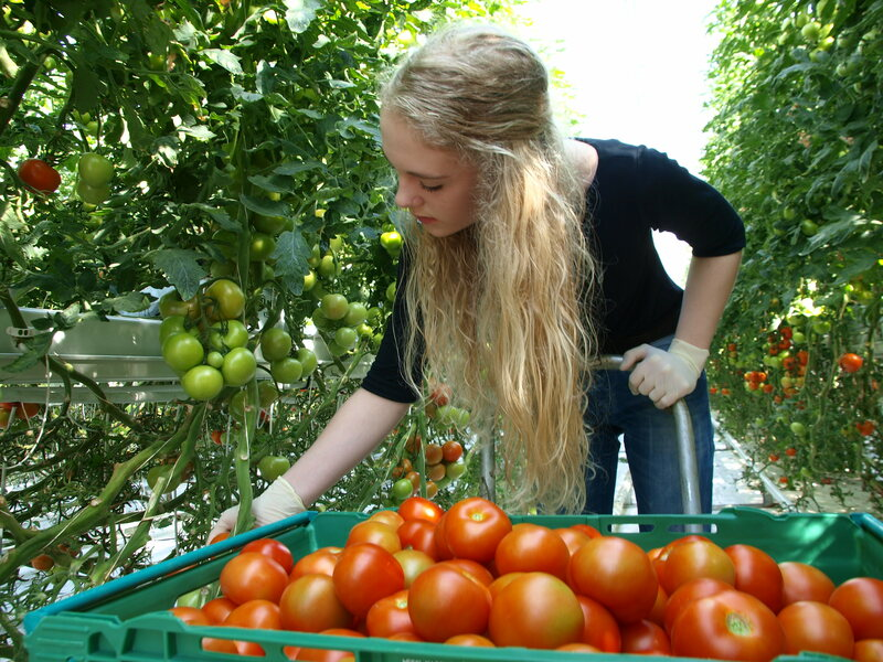 The greenhouse is one of the largest sources of tomatoes in Iceland.