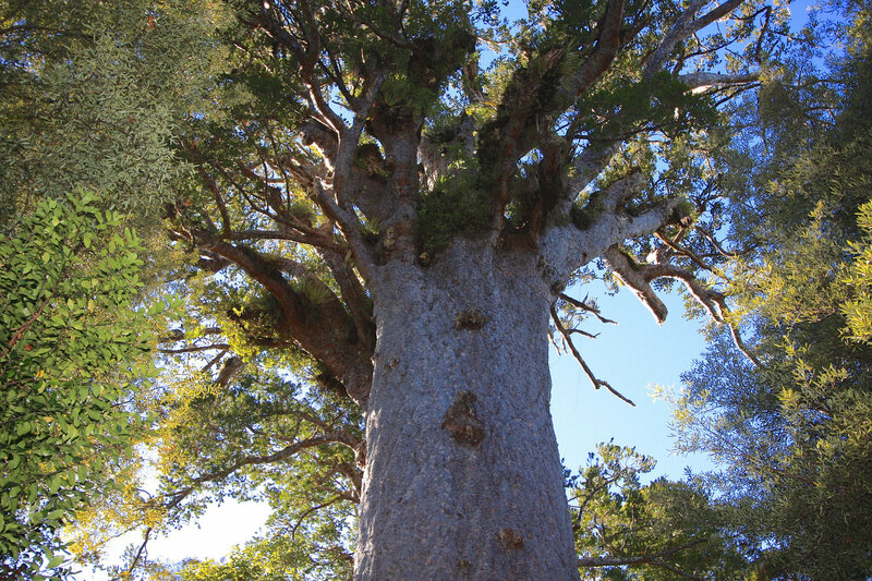 One Of New Zealand S Most Majestic Trees Is In Danger Atlas Obscura Watch online and download dora the explorer cartoon in high quality. most majestic trees is in danger