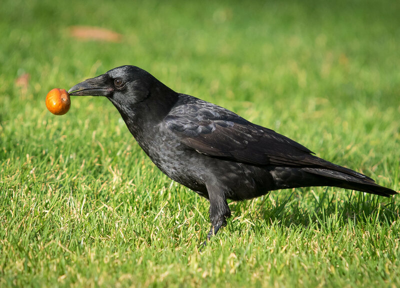 A crow finds a tasty treat.