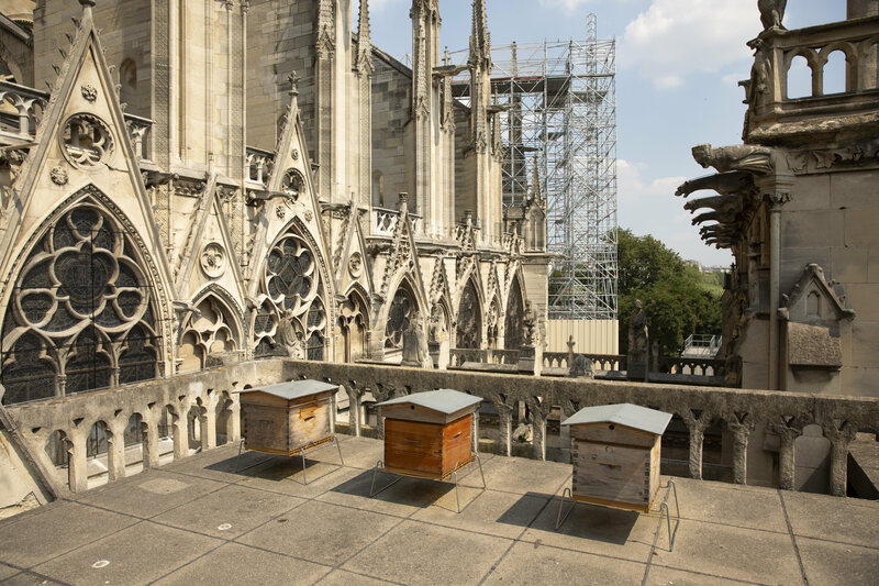 The bees at their home, on top of the Notre Dame.