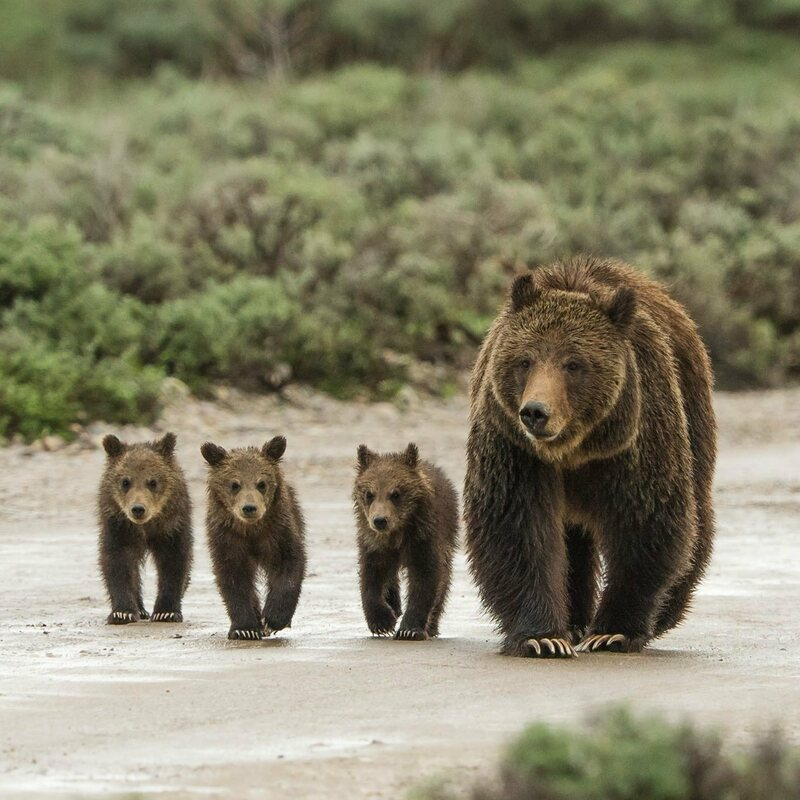 Grizzly bear 399 and three of her cubs.