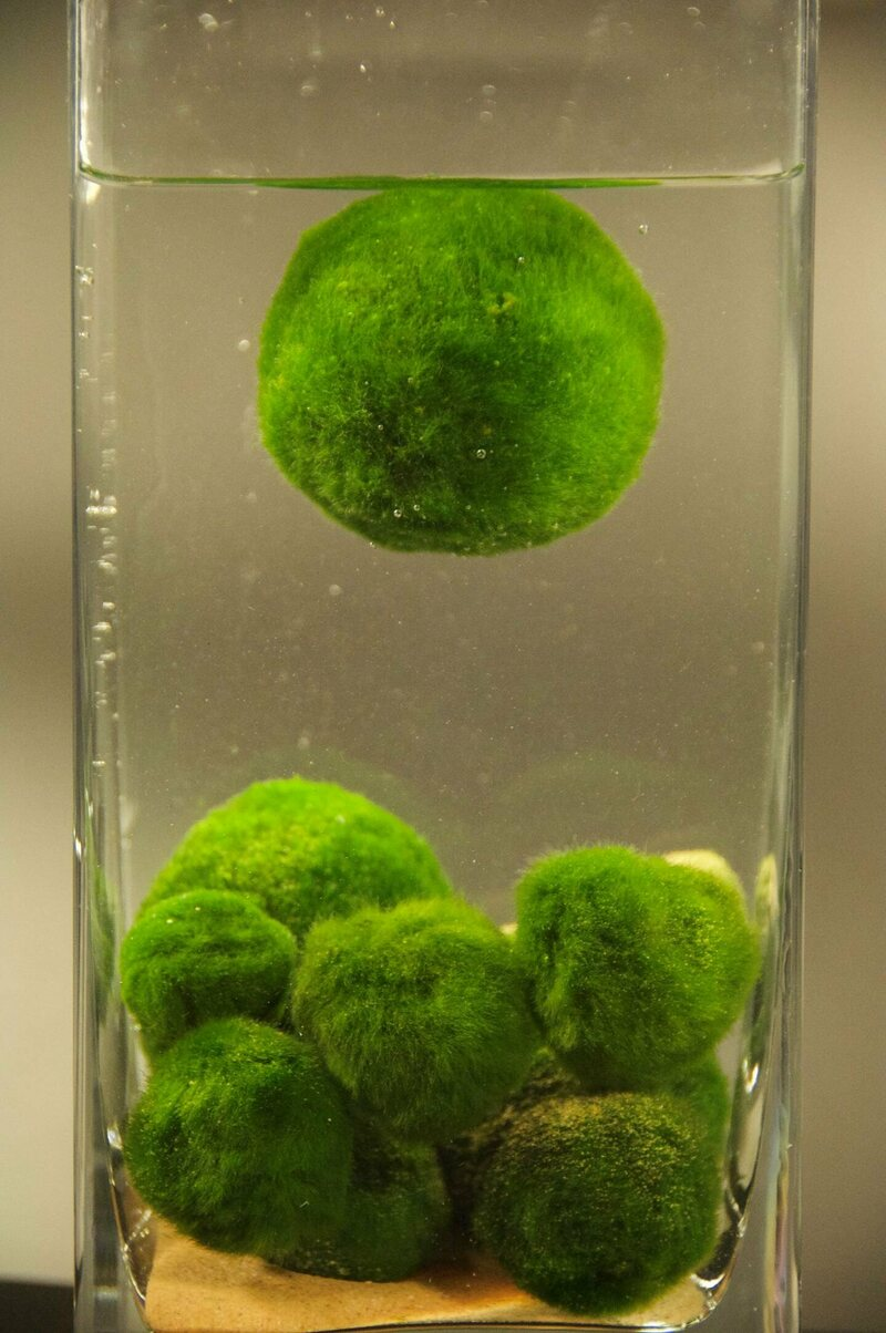 A cluster of marimo balls in the lab, with one floating.