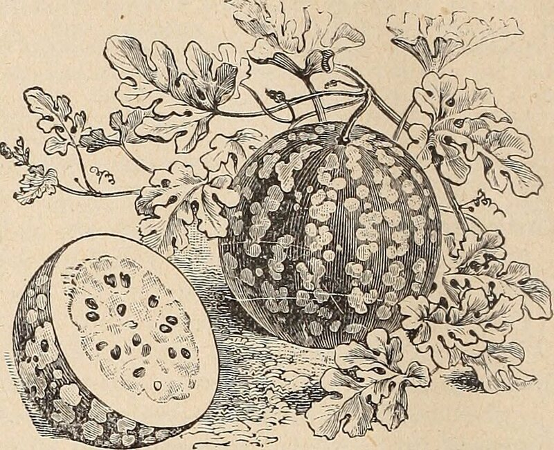 A green citron watermelon in an early-1900s seed catalogue.