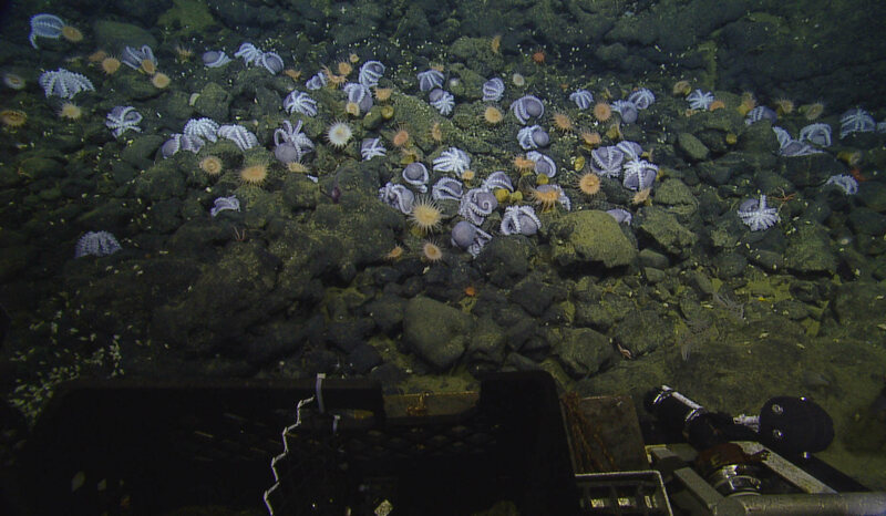 Found: The Largest Cluster of Deep-Sea Octopuses Ever Recorded