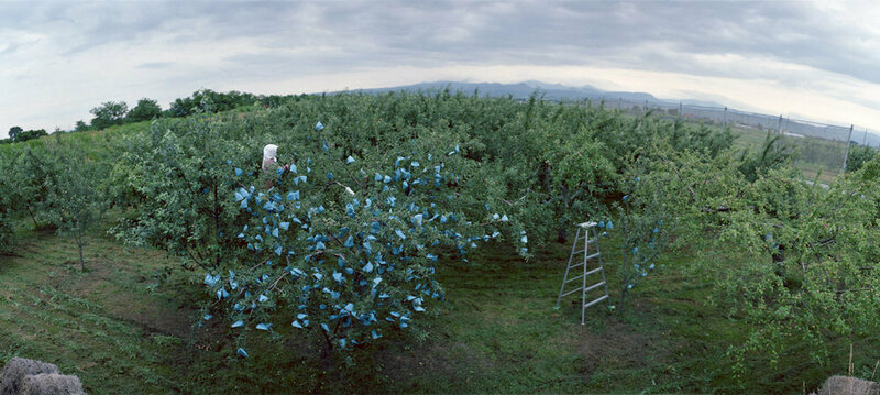 An orchard worker covers an apple tree with emerald bags.