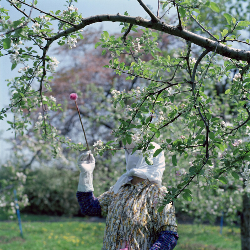 A farmer uses a wand to pollinate each blossom by hand.