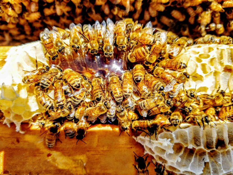What Does It Take to Breed a New Honeybee?