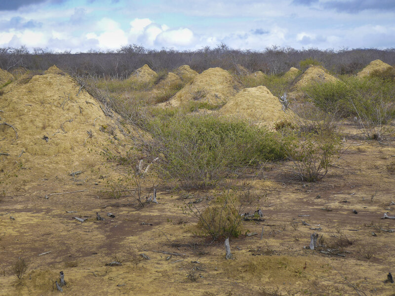 Northeast Brazil Is Dotted With Millions of Enormous Termite Mounds