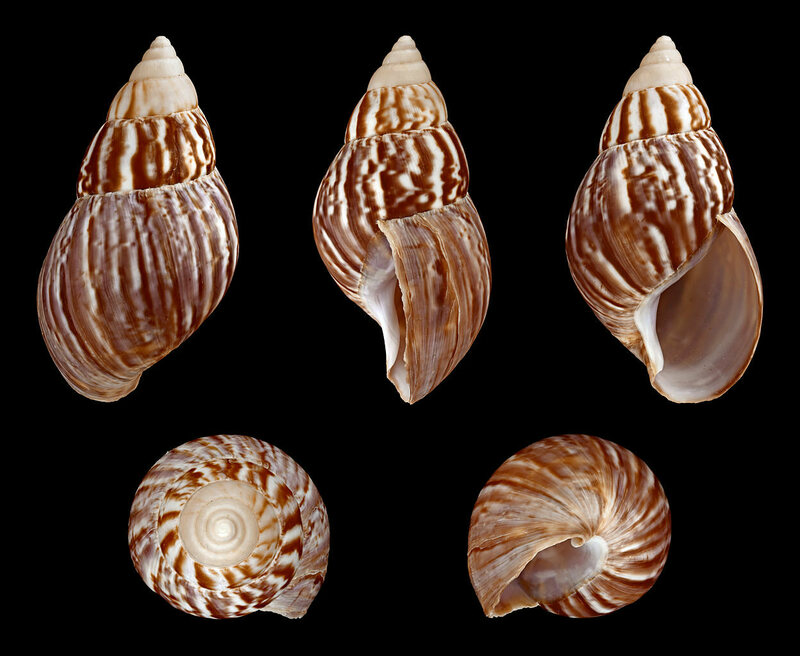 These shells could last in the fossil record as a sign of human influence on Earth.