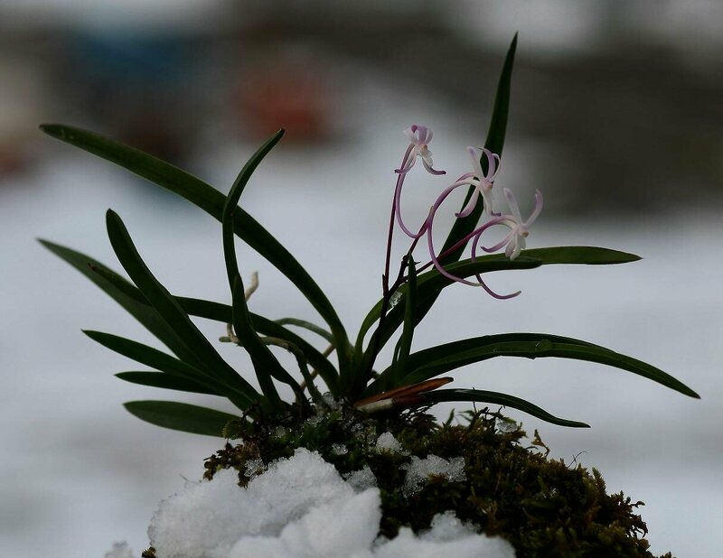 A Neofinetia in snow.