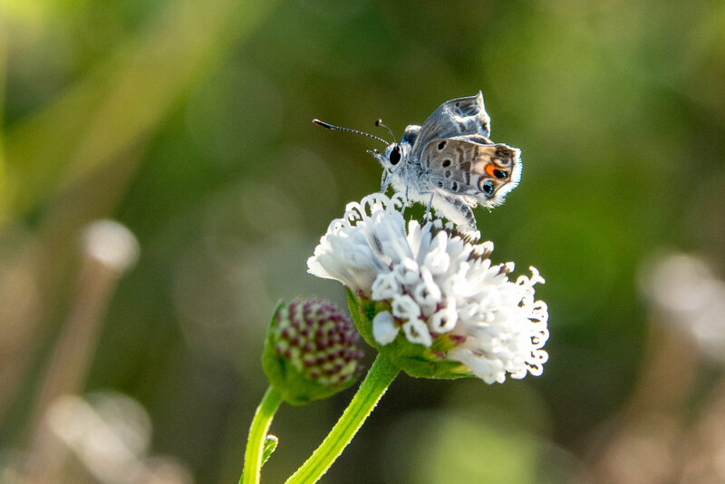 The Tiny Florida Butterfly That Refuses to Become Extinct