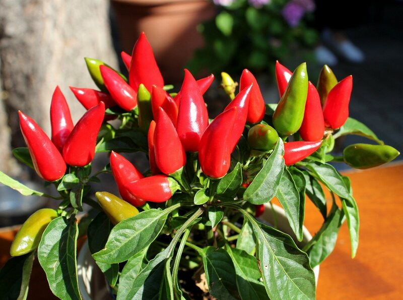 Is Chilis Open On Christmas.When The Christmas Plant Was A Pepper Not A Poinsettia
