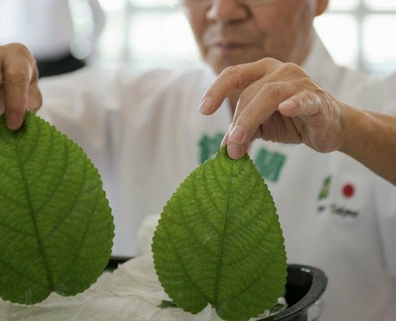 At Shin Suzuran, Takano handles nettle leaves.