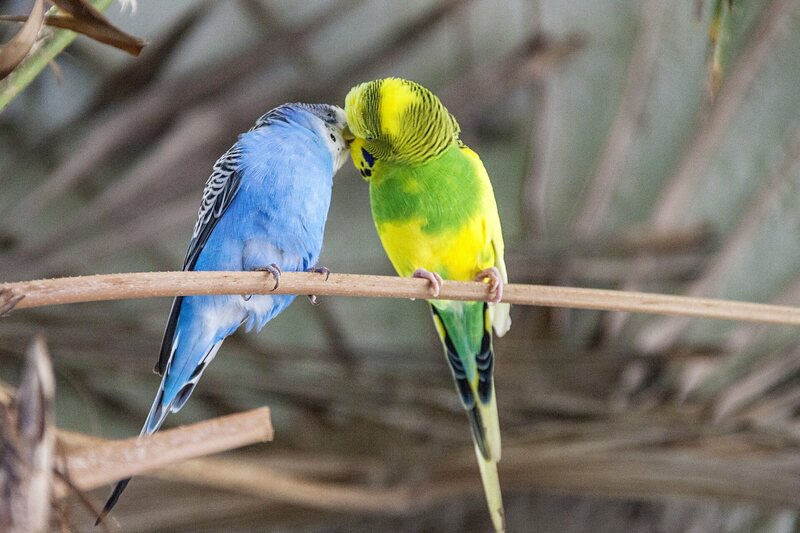 Two Budgies Sharing A Moment