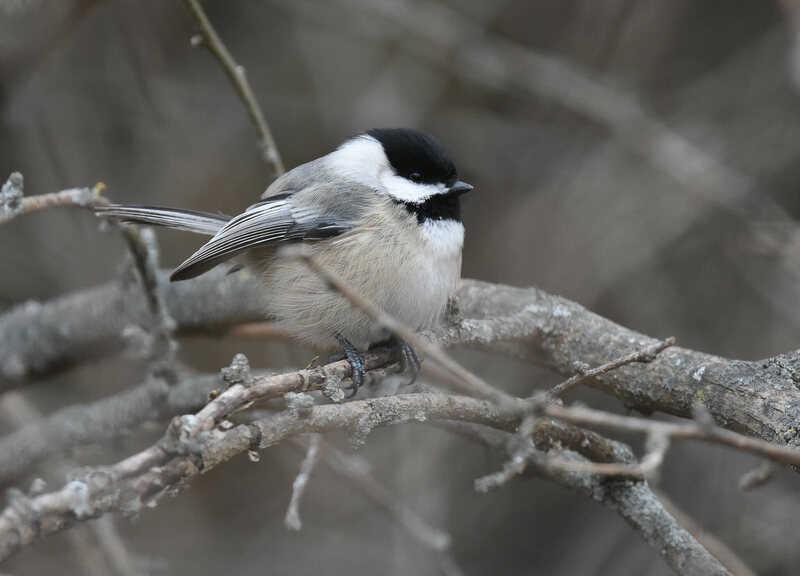 Chickadees, crows, and jays may return to spots where they stashed food.