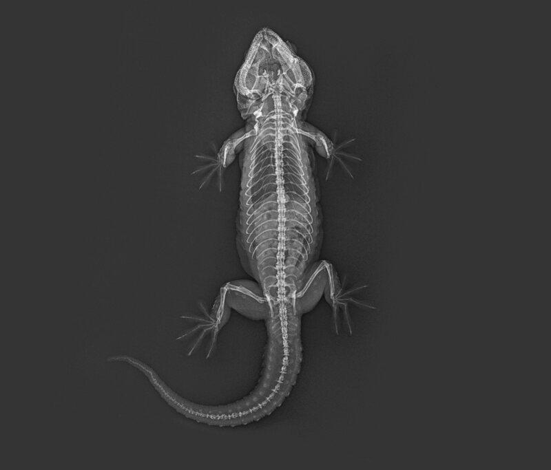 PB, the Tokay gecko.