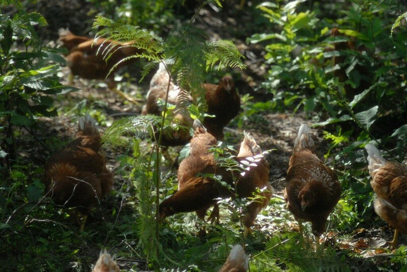 The Italian Farmer Returning Chickens to the Wild - Gastro