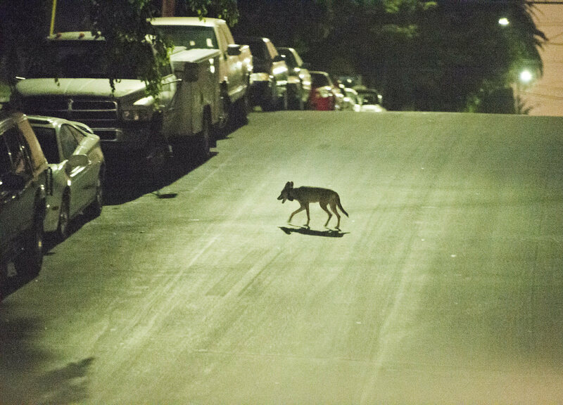 What, Exactly, Are Southern California's Coyotes Eating?