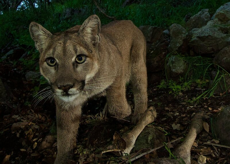 How Puma Leftovers Help Shape the Forest Ecosystem