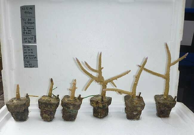 Comparison of staghorn corals grown for one year without the influence of seabird guano (three corals on left) with corals grown near a seabird colony (three corals on right).