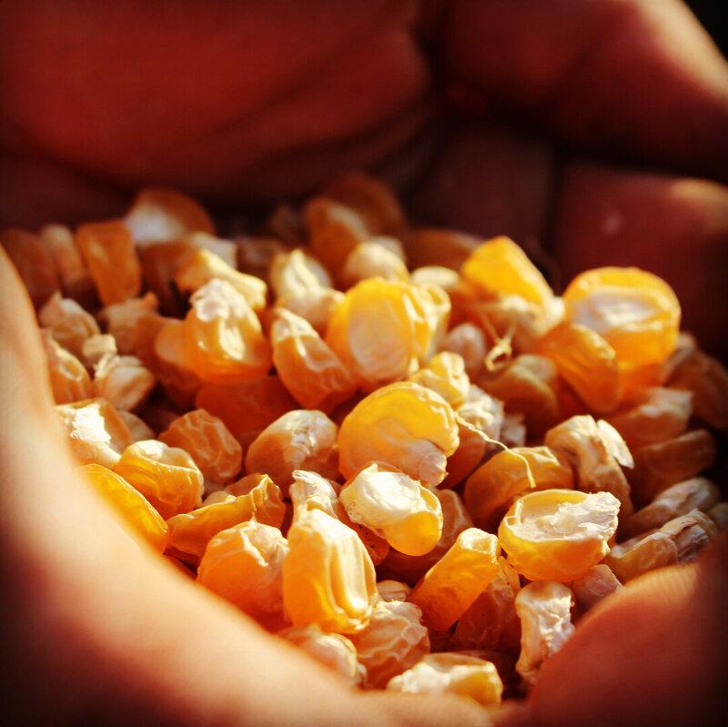 Seneca sweet corn planted by Sacred Seeds.