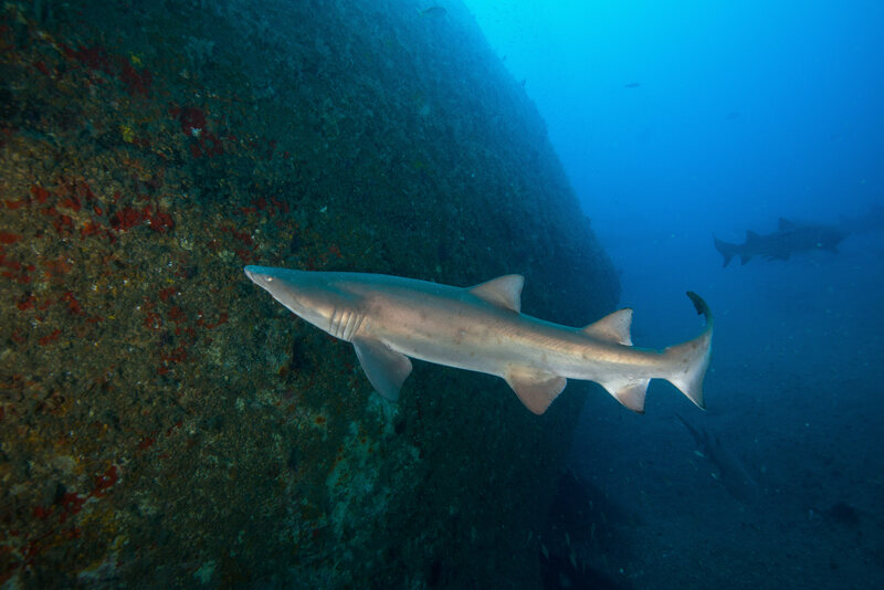 Sand Tiger Sharks Are Drawn to North Carolina's Shipwrecks