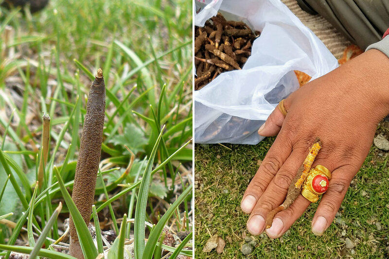 A caterpillar fungus in the ground (left) and a trader showing a piece he bought for about $15.