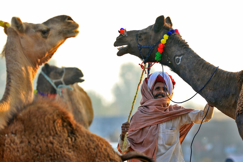 To Save India's Camel Culture, a New Dairy Is Selling Milk and Cream Cheese