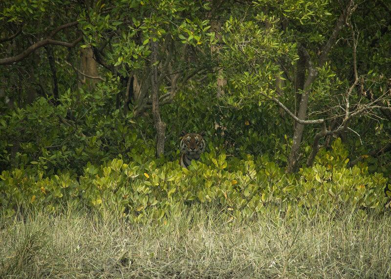 Mangrove tiger