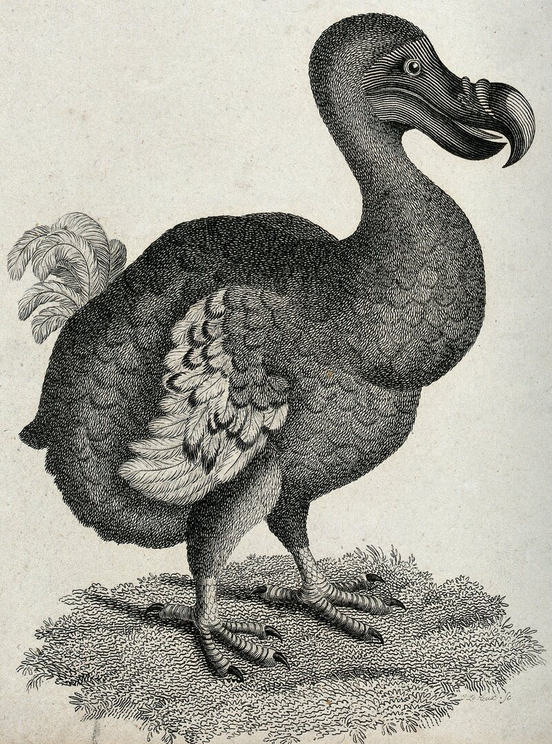 Here's one depiction of the bird, with flesh and feathers.
