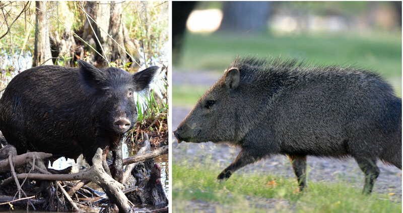 Solved: The 300-Year-Old Mystery of Barbados's Pigs - Gastro