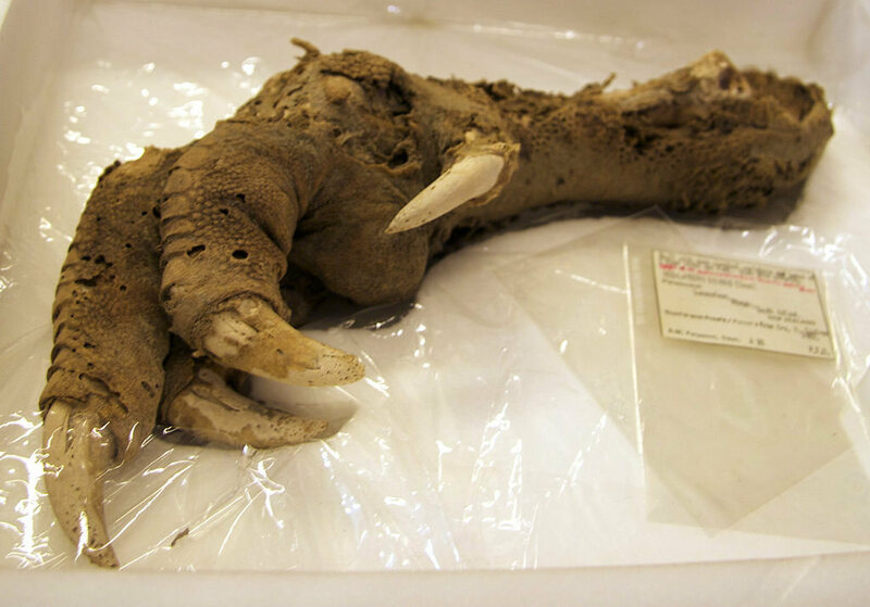 An immense preserved moa claw.