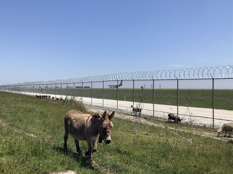 Meet the Farm Animals That Help One of America's Busiest Airports Run