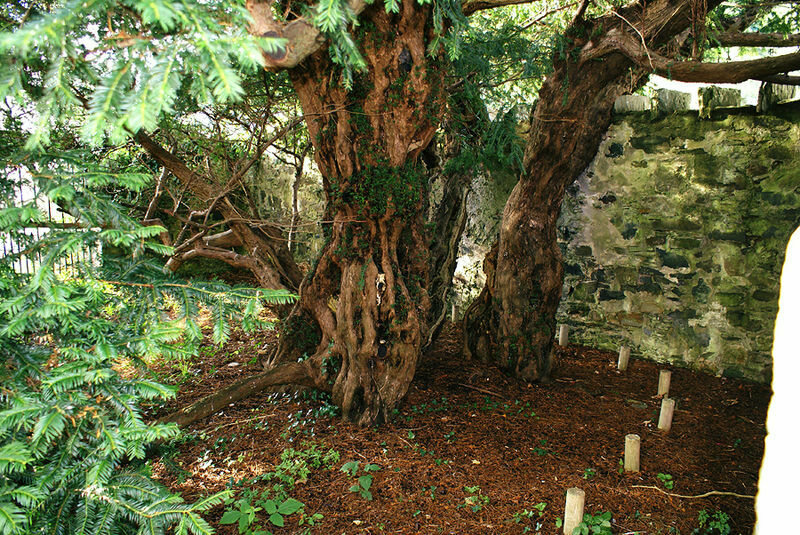 Souvenir Seekers Are Dismembering Britain's Oldest Tree