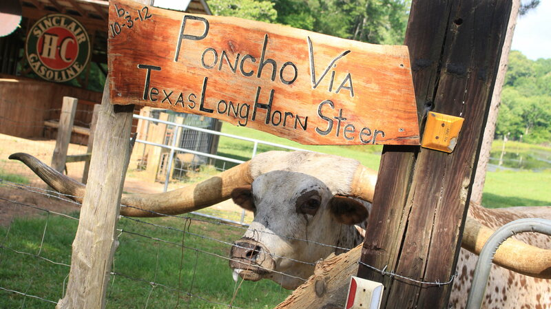 Meet Poncho, the Steer Whose Nearly 11-Foot Horns Just Set a
