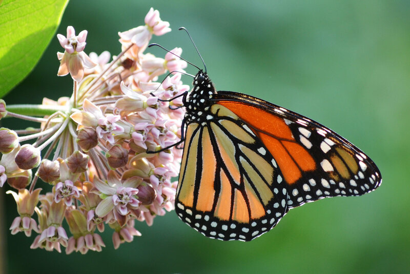 Monarch Butterflies Really Need Your Urban Plants
