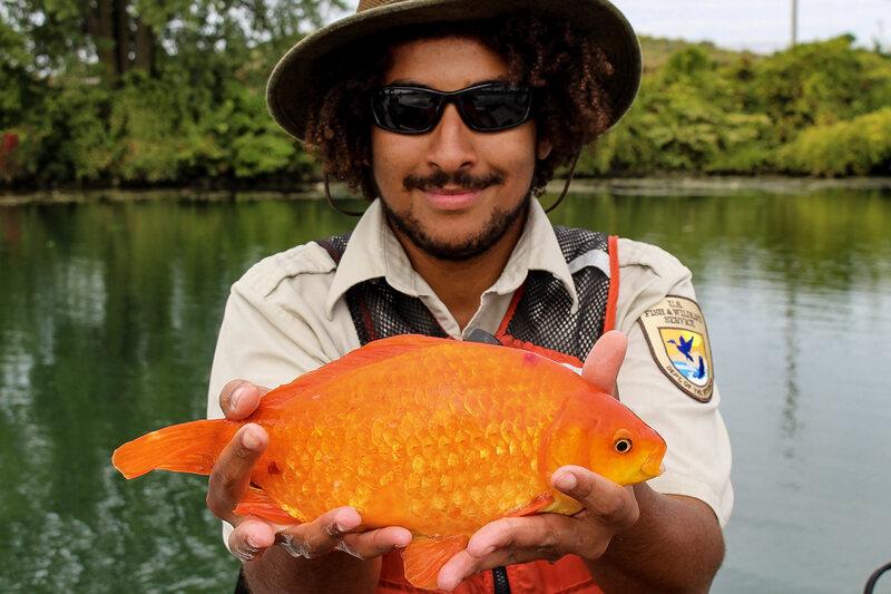 Please, Stop Flushing Live Goldfish Down the Toilet