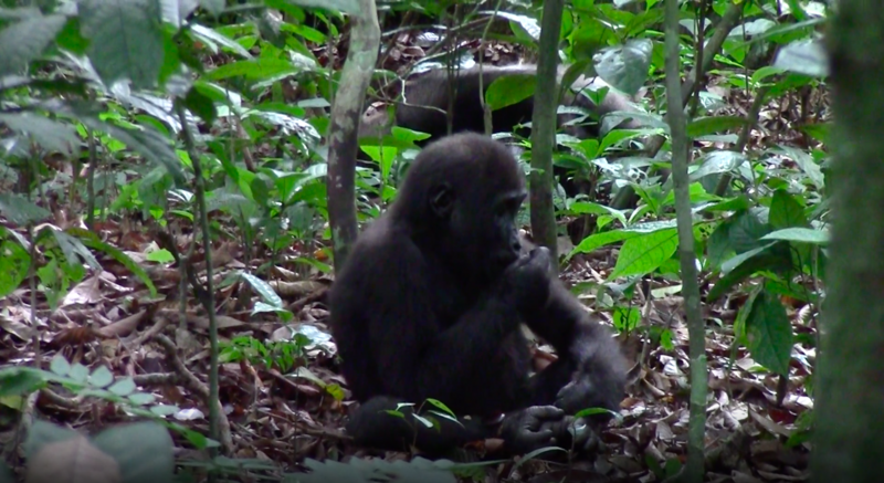 One of Loango's lowland gorillas munching on an African walnut.